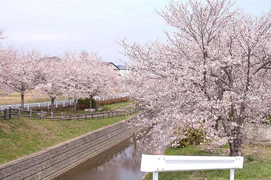 山下町鎧川桜